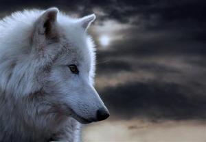 wolf white (Small)