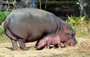 animal-hippopotamus-6